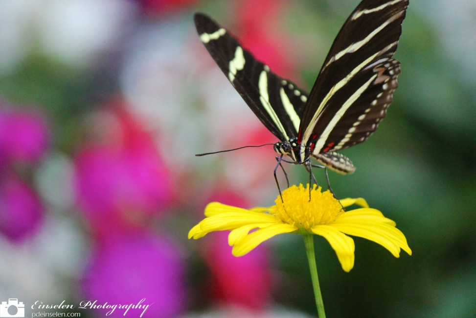 White and Black Butterfly on Yellow Flower